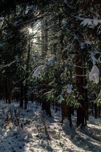 Gegenlichaufnahme vom winterlichen Wald