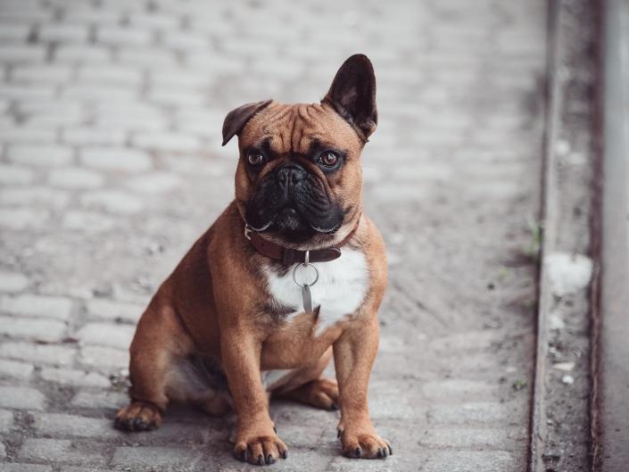 eine Franzoesische Bulldogge