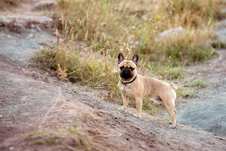 französische Bulldogge auf der Schwellenburg nahe Erfurt © Andreas Pöcking Fotograf in Erfurt