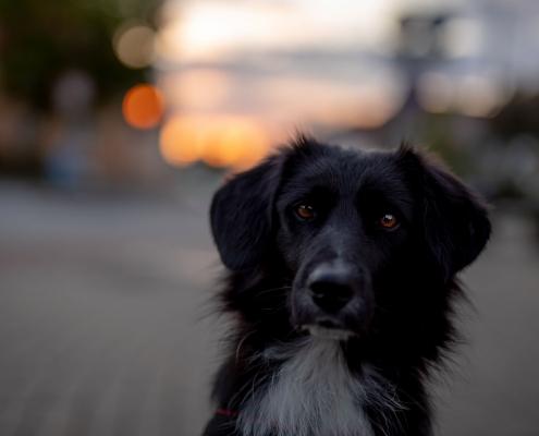 Hundeportrait in der Dämmerung ohne Ausleuchtung fotografiert mit der Canon EOS R & dem Sigma Art 50mm