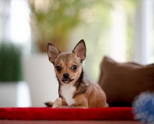 Hundefotoshooting zuhause
