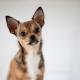 ohne Ausleuchtung und nicht im Studio sondern in einer Küche entstand dieses Hundeportrait mit der Canon EOS R & dem SIGMA Art 105mm