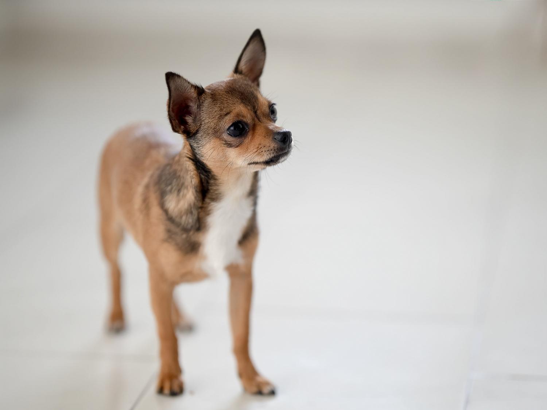 Portrait eines Chihuahua, fotografiert mit der Canon EOS R & dem SIGMA Art 105mm ohne Ausleuchtung