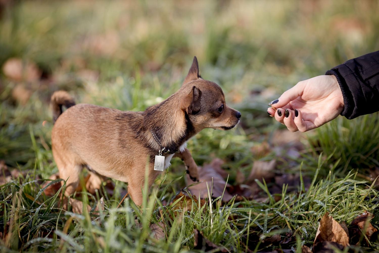 ein kleiner Chihuahua beim spielen mit Frauchen