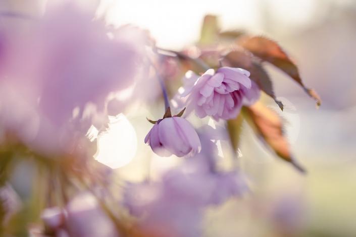 Makroaufnahme von zwei rosa Blüten im Frühjahr 2020 Canon EOS R & RF 35mm Makro