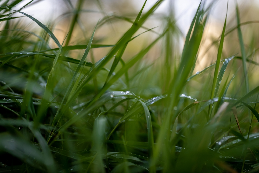 offenblendige 35mm Nahaufnahme einer Wiese am Morgen nach dem Regen Canon Eos R & EF 35mm f1.4 MKII