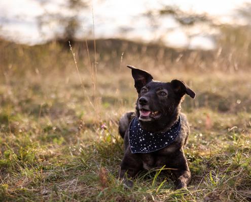 leicht gegen die Abendsonne fotografiertes Hundeportrait im Grünen Canon EOS R6 & RF 28-70mm f/2.0L USM