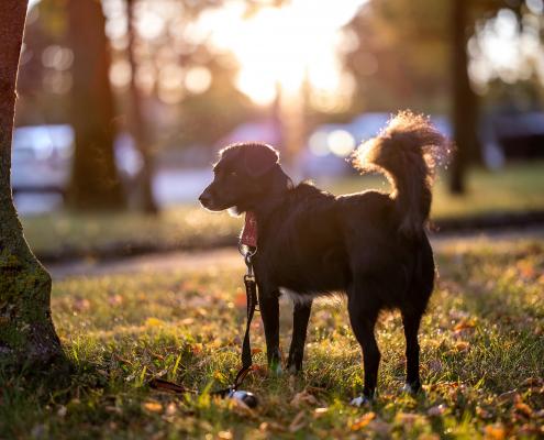urbanes Hundeportrait im herbstlichen Morgenlicht der aufgehenden Sonne Canon EOS R6 & RF 85mm f/1.2L USM