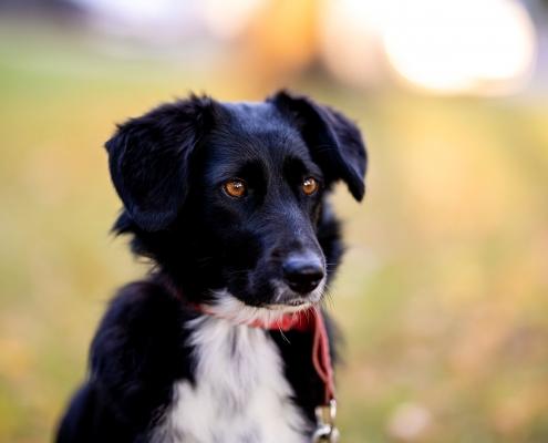 Hundeportrait fotografiert mit Blende 1.2 (tolles Bokeh) und der Canon EOSR & RF 85mm f/1.2L USM