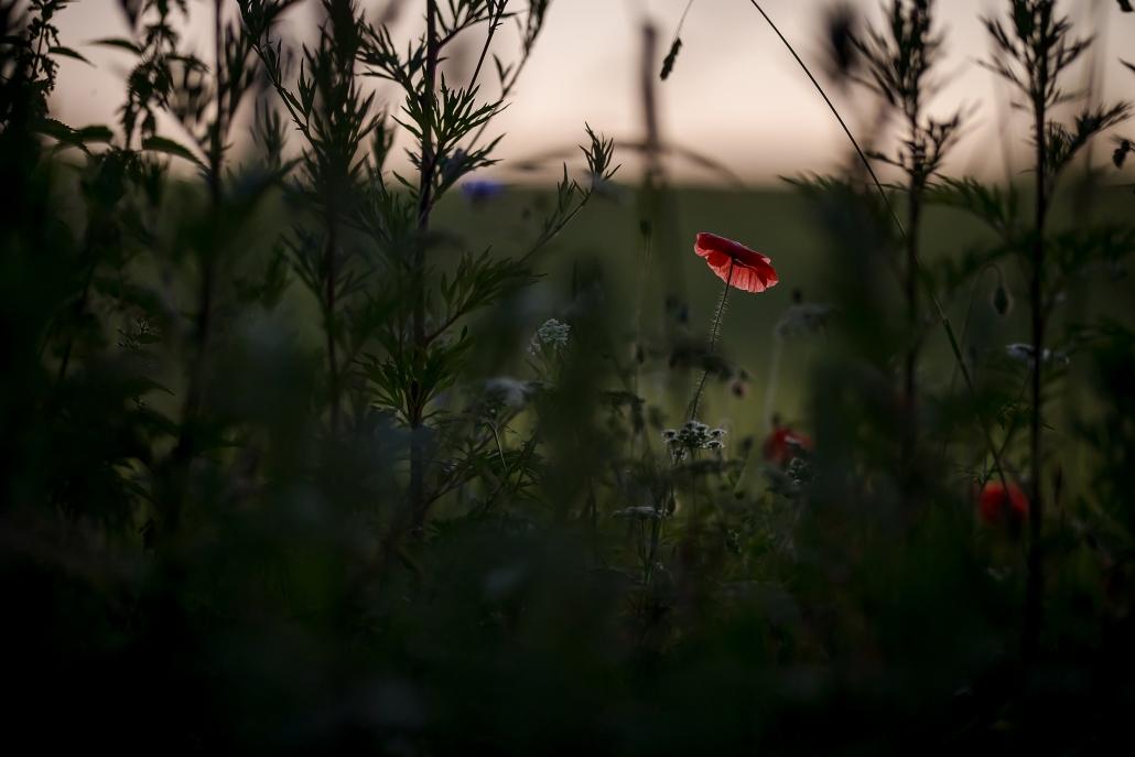 Mohn am Wegesrand im Abendrot fotografiert ca 30 Minuten nach Sonnenuntergang mit der Canon EOS R6 & RF 85mm f/1.2L USM
